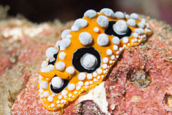 BD-141021-Bali-5858-Phyllidia-ocellata.-Cuvier.-1804-[Ocellate-phyllidia].jpg